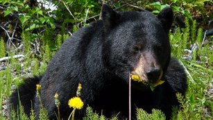 Black bear eating flowers.