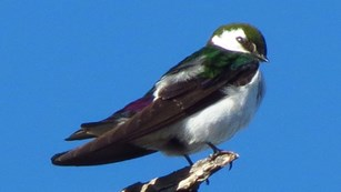 A violet-green swallow