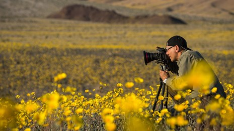 Commercial photographer taking picture of desert gold wildflower during the 2016 spring 'superbloom'