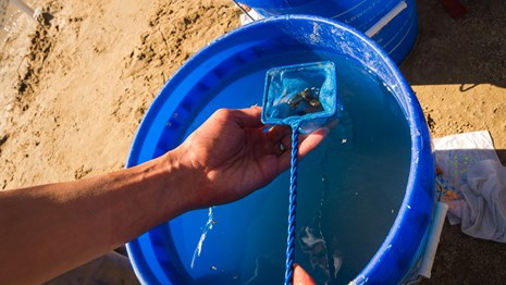 pupfish being picked out of a blue bucket with a small net