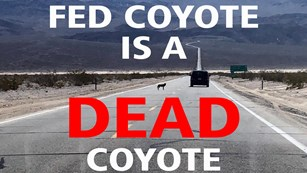 A coyote stands in a long, stretching two lane road, as a car goes by in a desert setting.