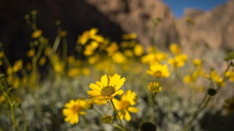 Yellow flowers in bloom with a brown canyon background