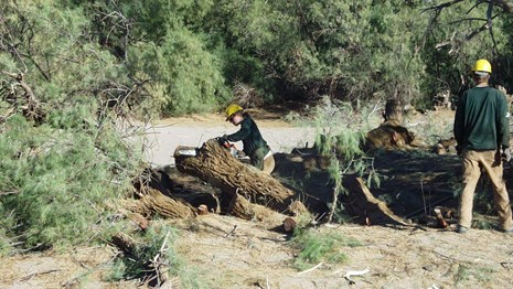 Two workers in protective gear use chainsaws to cut down a large tree.