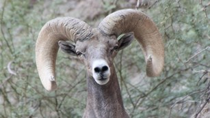 A desert bighorn sheep ram faces the camera from a hillside