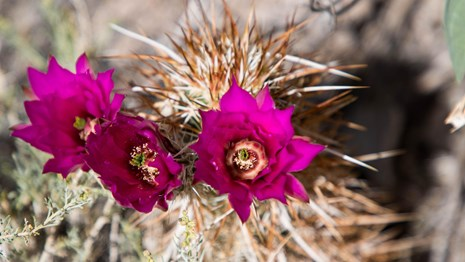 A spiny cactus with three, bright pink flowers.