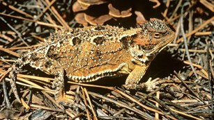 Tan, black, and brown lizard covered in horns