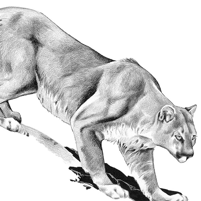 Black and white drawing of a mountain lion.