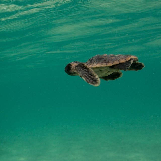 A baby sea turtle swims in the ocean