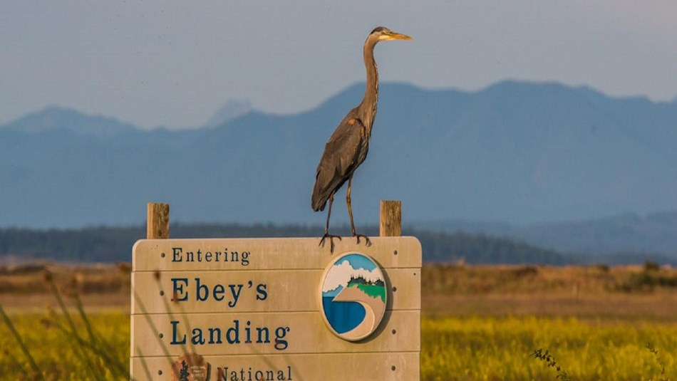 Blue heron stands on Ebey's Reserve entrance sign.