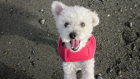Fluffy white dog on the beach with a red coat.