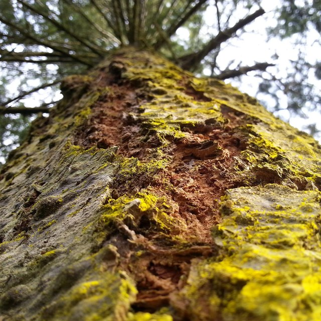 Closeup of a Douglas Fir Tree