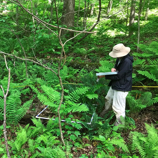 Technician standing in forest identifying plants.