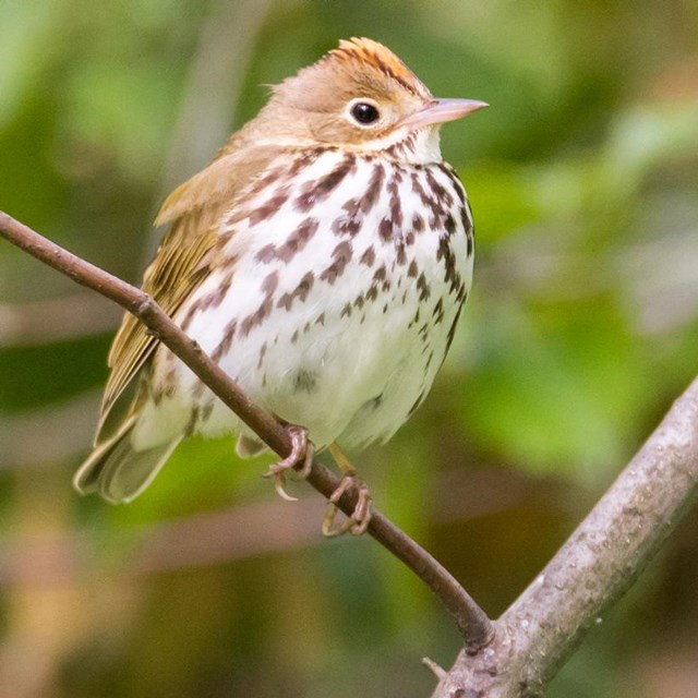 Ovenbird on a branch