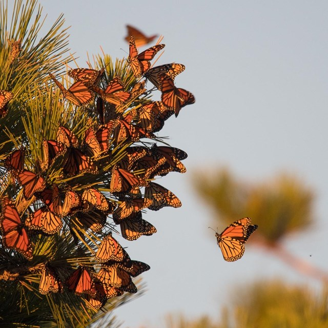 A group of Monarch butterflies come to roost on a pine tree branch.