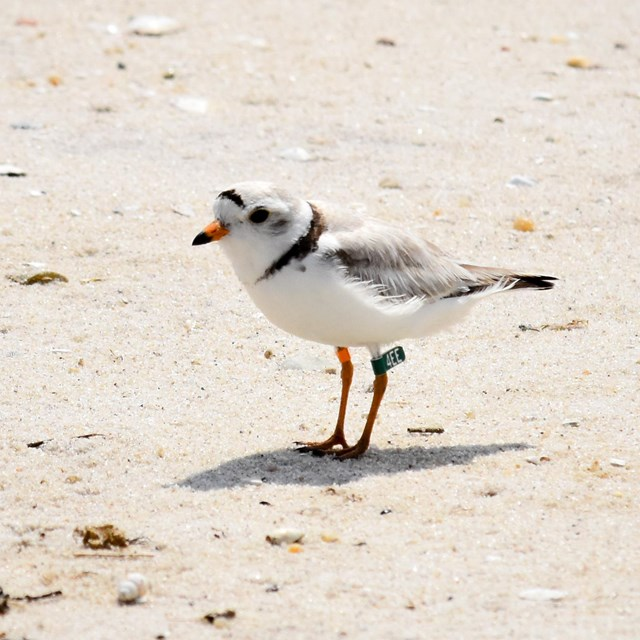 An adult piping plover, a small shorebird, stands on a sandy beach.