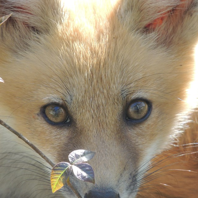 A red fox looks up at the camera from behind a small poison ivy leaf.