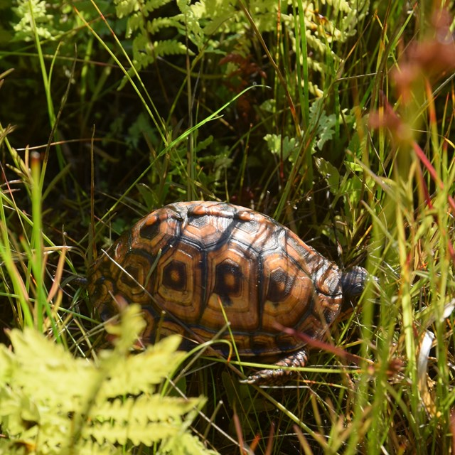An orange and green box turtle shell can be seen among green grass.