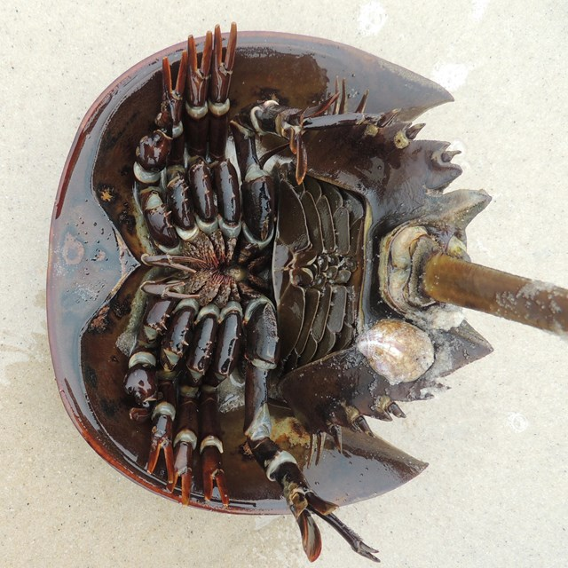 A horseshoe crab upside down on the beach.