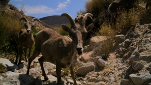 Two bighorn sheep on a webcam