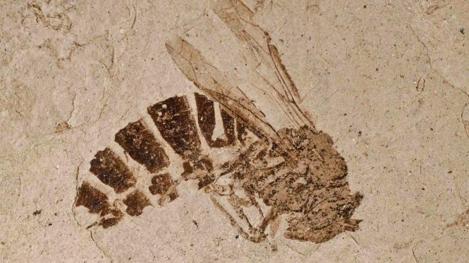 Wasp fossil