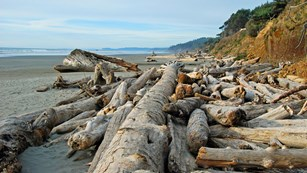Large pile of driftwood along beach with rocking cliff and forest in background.