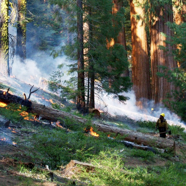 A firefighter studies the fire in a giant sequoia forest.