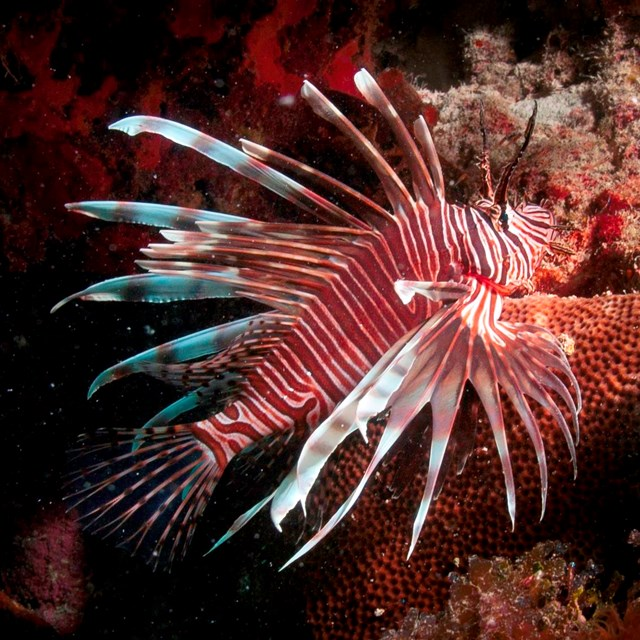 Lionfish in coral reef.
