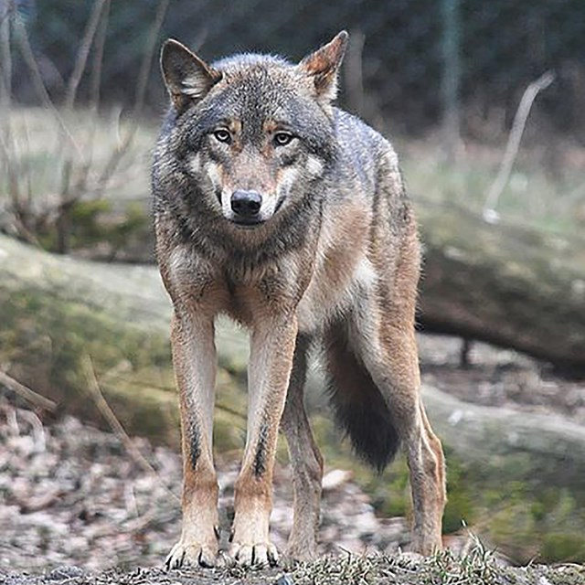 Image of grey wolf looking at the camera.