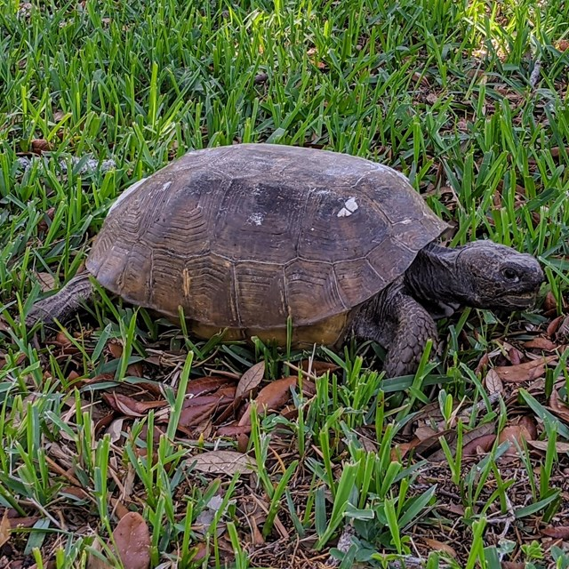 Image of a tortoise on the grass.