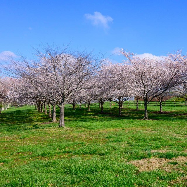 Cherry blossoms on Fort McHenry's west lawn leading to Orpheus trail.