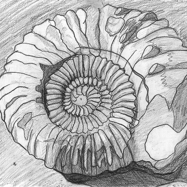 pencil drawing of coiled fossil shell
