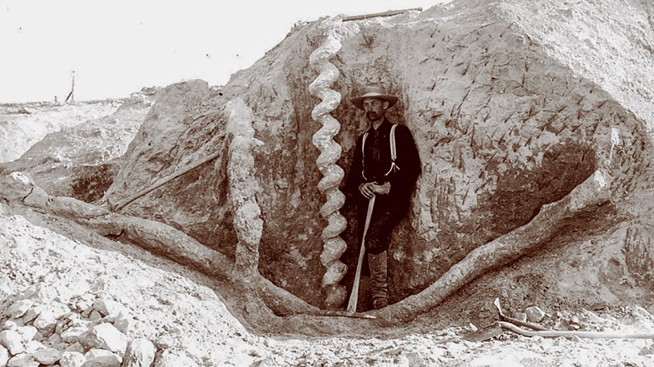 historic photo of man standing with a spiral fossil burrow
