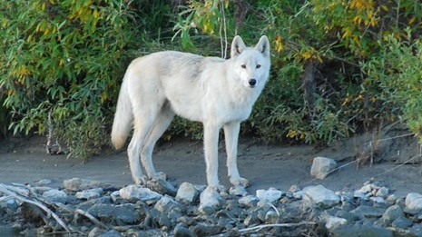 White wolf stands on the edge of a river