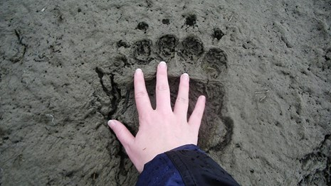 A person holds their hand over a bear print in mud