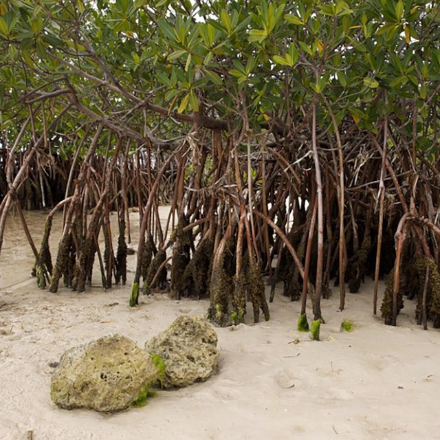 mangroves on the shoreline