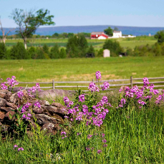 Pink wildflowers grow on the battlefield next to a stone wall. A red barn is in the distance.