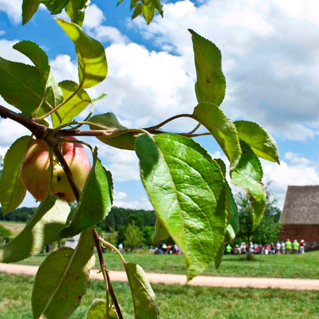 In the left foreground is an apple tree, in the right distance is the Trostle barn with people.