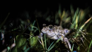 boreal toad in the grass