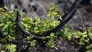 new green leafy plant grows in charred ground