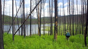 person with backpack faces lake and stands in forest of burnt snags and thick new undergrowth