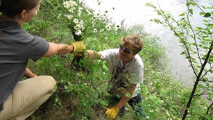 Gloved people picking invasive weeds by river
