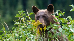 Black bear feeding in tall vegetation