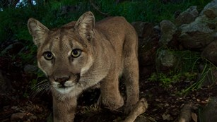 Mountain Lion captured with a remote camera trap