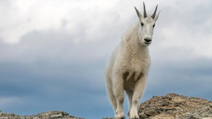 Mountain Goat on a rocky outcrop