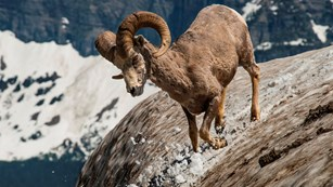Bighorn sheep kicks up snow as it heads downhill
