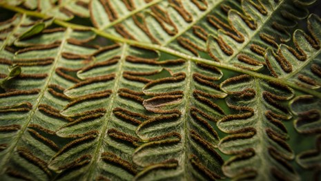Close up of fern leaves and spores.