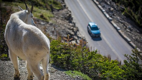 A mountain goat looks down at a mountain road.