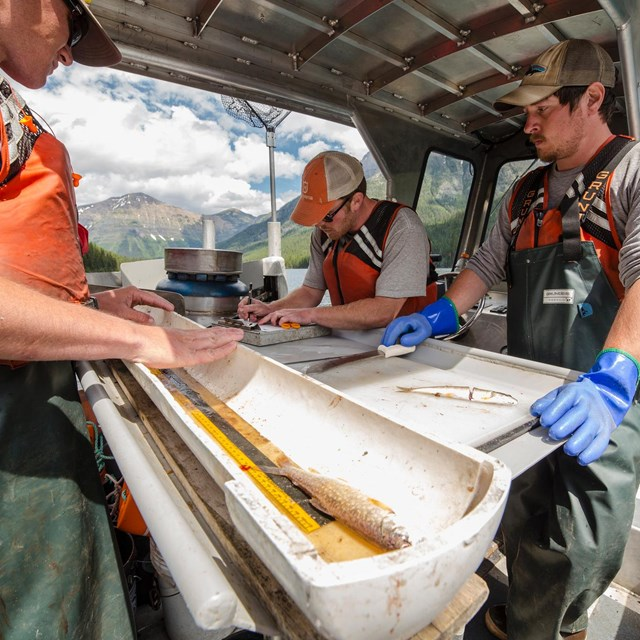 Quartz Lake crew measuring trout on their fishing vessel.