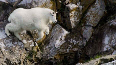Mountain goat jumps across a cliff