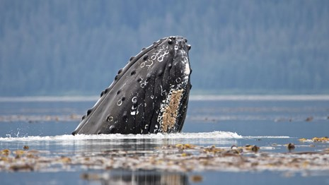 a humpback whale breaches partially out of still water, with land in the background.